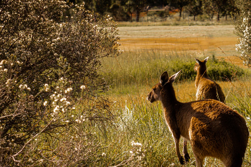 Two kangeroos in a meadow - Baldwin Financial Services: How My Experience Arriving in Australia as a UK Migrant Can Help You